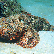 Spotted Scorpionfish most commonly inhabit reefs, but can be found in all bottom habitats in Tropical West Atlantic; picture taken Palm Beach, FL.