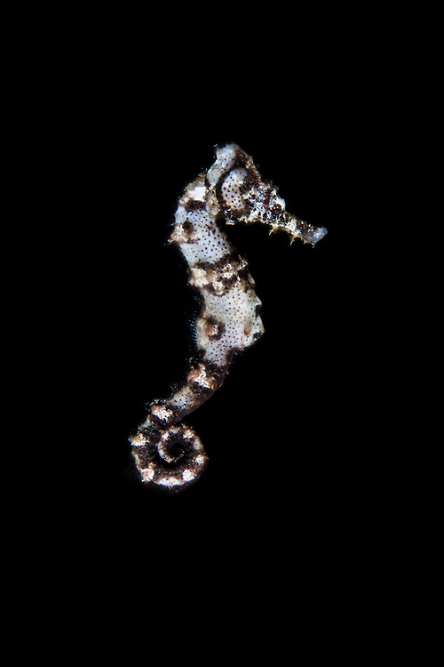 This seahorse was clinging to sealife as I prepared to photograph it. I had just gotten in position when the seahorse started free swimming and I was able to get this shot.<br />