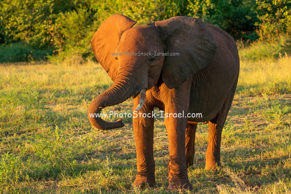 Young African Bush Elephant (Loxodonta africana) Photographed at Lake Kariba National Park, Zimbabwe