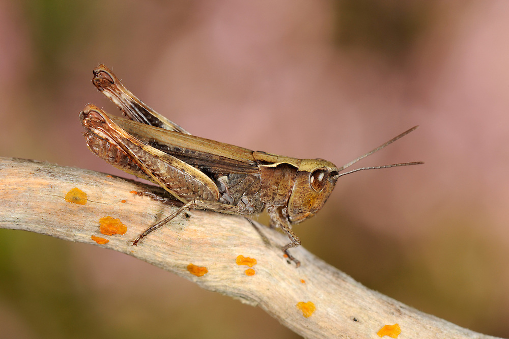 Heath Grasshopper - Chorthippus vagans