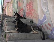 Steet dogs rest on steps of Cerro Alegre, Valparaiso.