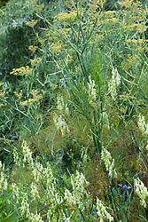 Aconitum 'Ivorine' growing up through fennel at Glebe Cottage