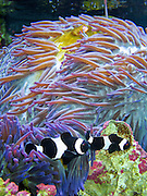 "Clownfish (Amphiprion ocellaris) thrive on symbiotic mutualism with sea anemones. Sydney Aquarium, New South Wales (NSW), Australia. Clownfish and anemonefish are from the subfamily Amphiprioninae in the family Pomacentridae. Published in ""Light Travel: Photography on the Go"" book by Tom Dempsey 2009, 2010."