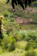 Iuna_ES, Brasil...Detalhe de aranhas em Iuna...Detail of spiders in Iuna...Foto: LEO DRUMOND / NITRO.