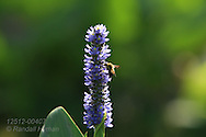 Pickerelweed (Pontederia cordata) blossoms in pond at Tower Grove Park in St. Louis, Missouri.