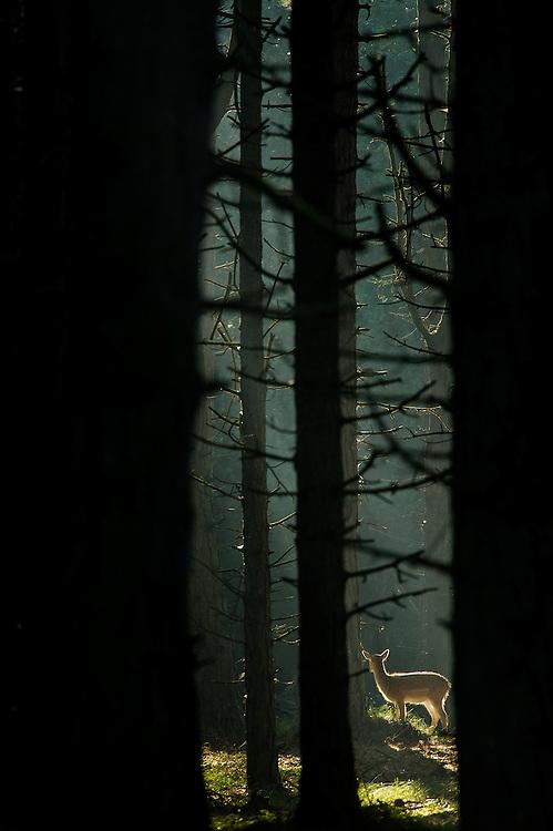 Fallow Deer (Dama dama) fawn standing on a light spot in a dark forest