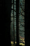 Fallow Deer (Dama dama) fawn standing on a light spot in a dark forest