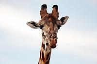 Maasai or Kilimanjaro Giraffe portrait in the beautiful plains of the Masai Mara reserve in Kenya Africa