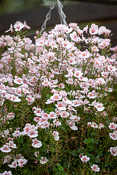 Diascia Flying Colours Appleblossom syn. 'Diastara' - Flying Colours Series