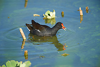 Common Gallinule (Gallinula galeata)swimming among water hyacinth, Lake Chapala, Jocotopec, Jalisco, Mexico