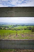 A vineyard on the hills surrounding Petaluma, California.