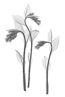 X-ray image of an unfurling Korean fairy bells trio (Disporum uniflorum, black on white) by Jim Wehtje, specialist in x-ray art and design images.