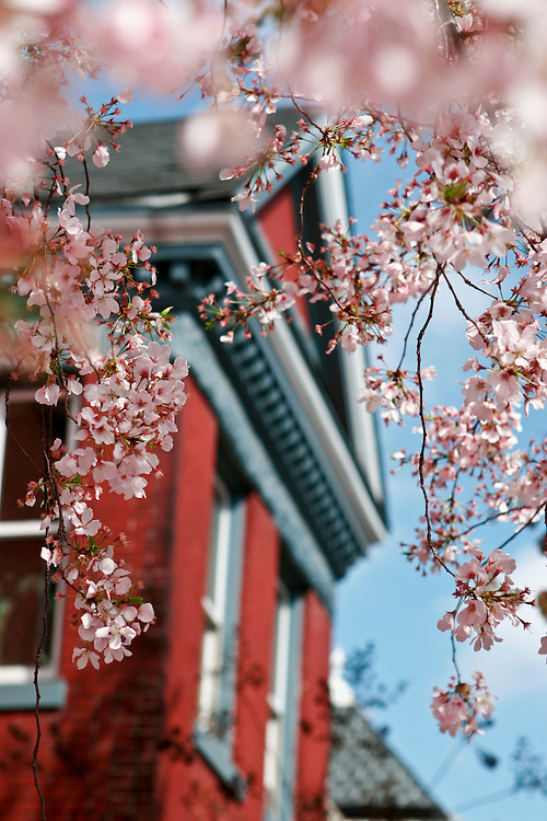 Capitol Hill blooms with cherry blossoms.