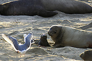 Northern Elephant Seal <br /> Mirounga angustirostris<br /> Birth<br /> Ano Nuevo State Reserve, CA, USA
