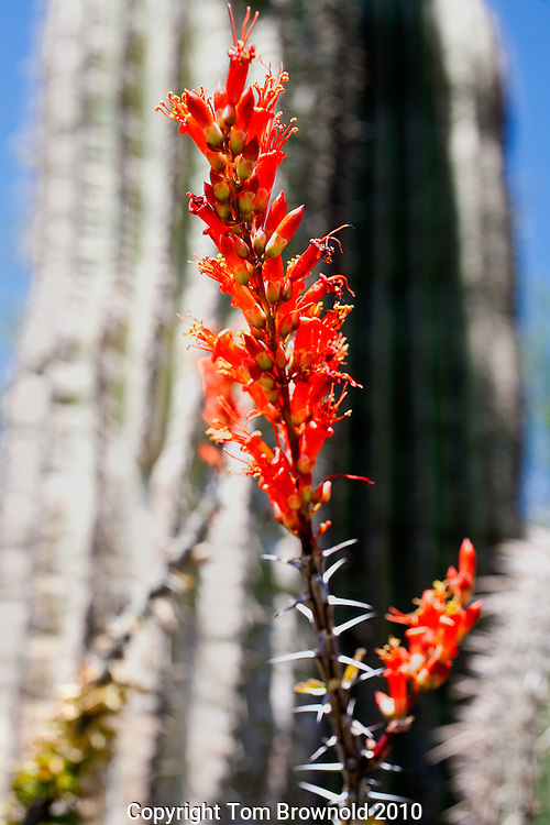 Sonoran Desert bloom