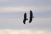 A pair of bald eagles (Haliaeetus leucocephalus) fly over the Skagit Valley in Washington state, gathering materials for their nest.