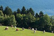 Rinder auf der Weide, Lam, Lamer Winkel, Bayerischer Wald, Bayern, Deutschland   cattle on meadow, Lam, Lamer Winkel, Bavarian Forest, Bavaria, Germany