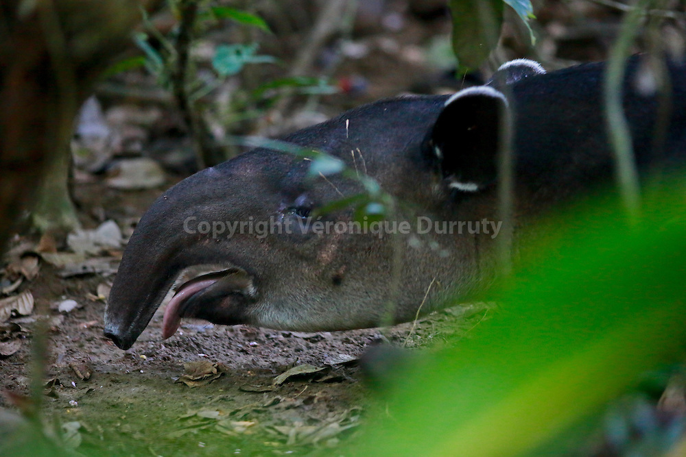 Tapir, Corcovado National park, Costa Rica // Tapir, Parc national Corcovado, Costa Rica