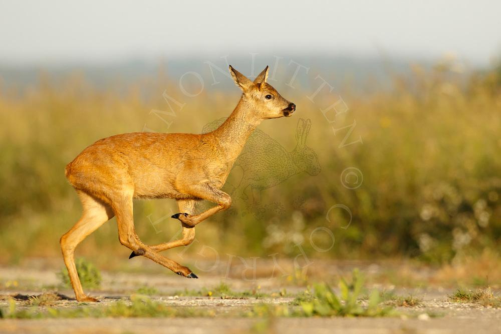 Western Roe Deer (Capreolus capreolus) female running across farm track, South Norfolk, UK. May.