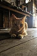 Dirty orange cat on wooden floor