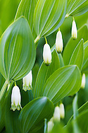 Picture of Angular Solomon's-seal (Polygonatum odoratum).