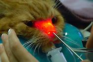 NLD, Niederlande: Rhinoskopie bei einer Maine Coon Katze, eine endoskopische Untersuchung des Nasen- und Rachenraumes, bei der eine Gewebeprobe entnommen wird, Universitätsklinik für Gesellschaftstiere, Fakultät der Tierheilkunde, Utrecht | NLD, Netherlands: Rhinoscopy with a maine coon cat, an endoscopic examination of the nose and throat area, a tissue specimen will be taken, university clinic for companion animals, faculty of veterinary medicine, Utrecht |