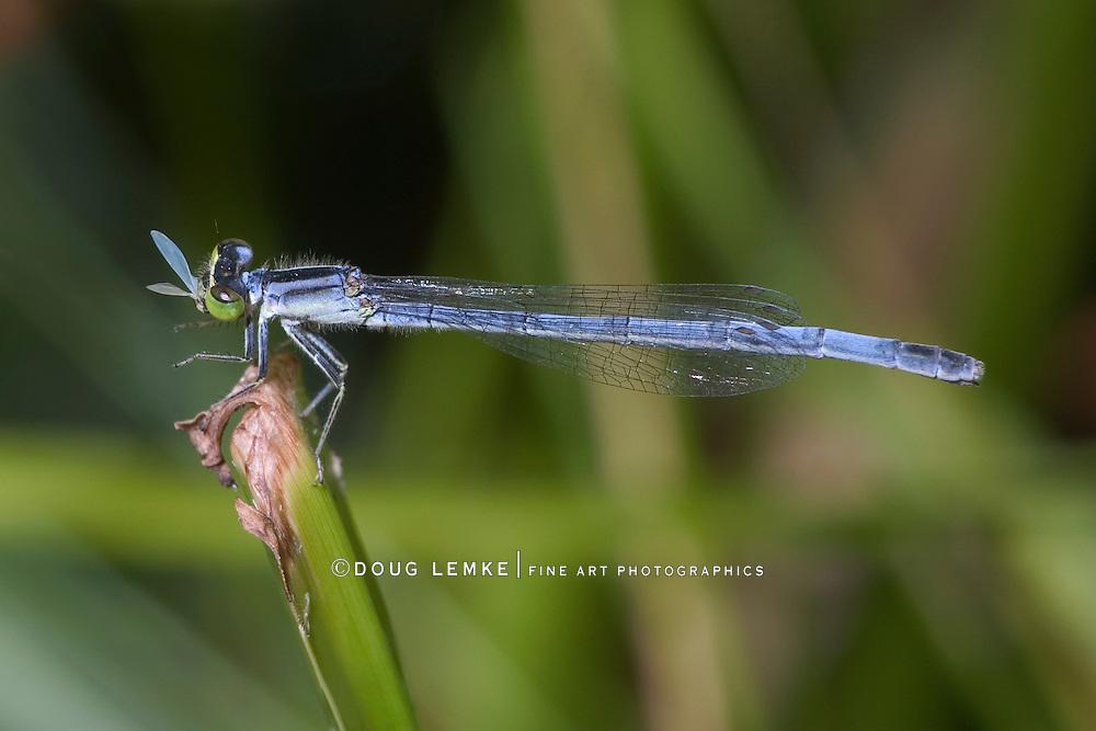Damselfly, Maybe an Eastern Forktail, Female, Ischnura verticali