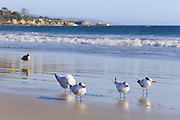 Terns on the Shore of Corona Del Mar Beach, California