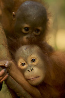 Juvenile orangutans climbing vines in a patch of forest where they are learning skills for the wild <br />
