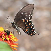 Eastern Black Swallowtail butterfly, Papilio polyxenes, feeding