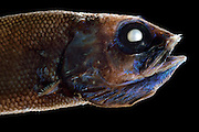 [captive] Searsid (Maulisia sp), deep sea fish, Atlantic Ocean, close to Cape Verde |