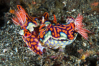 Mating Ceratosoma Nudibranchs, with Emperor Shrimp hitchhiker.<br /> <br /> Shot in Indonesia