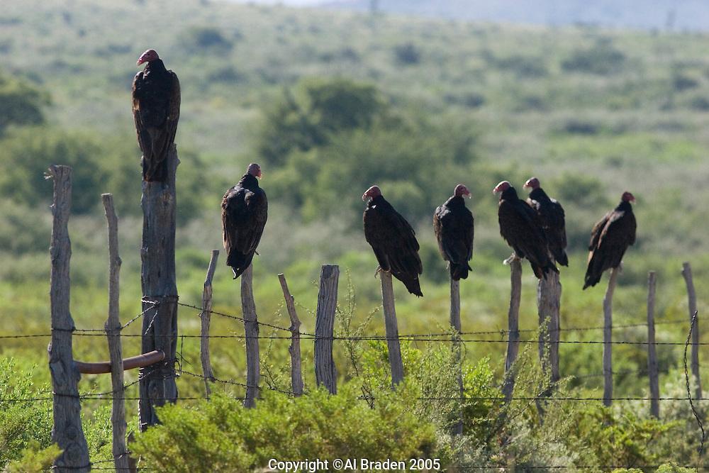 Vultures, Big Bend National Park, Texas