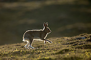 Mountain Hare (Lepus timidus) adult in summer coat running across moorland