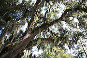 moss hanging from live oak trees at Parlange Plantation in New Roads, Louisiana