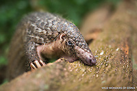A captive Sunda pangolin (Manis javanica) foraging for food at  Night Safari, Singapore. © 2016 Jak Wonderly / wildwondersofchina.com