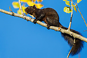 Black fox squirrel image captured in Colorado.  The black squirrel is a melanistic subgroup of the gray squirrel and the fox squirrel.