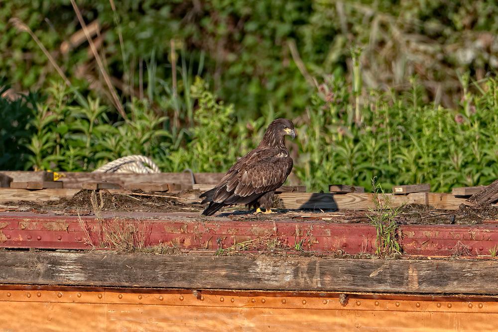 Eaglet on barge platform walking around curious intent.