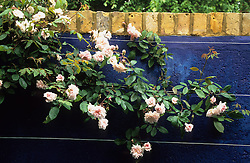 Rosa 'Cecile Brunner' growing on wires against blue painted wall