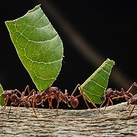 Leaf-cutter Ants (Atta laevigata) return to their nest carring sections of leaves which will be used to feed their underground fungus gardens. Canaima National Park, Venezuela.