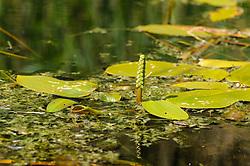 Drijvend fonteinkruid, Potamogeton natans