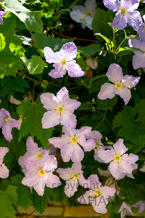 Clematis wallclimbing shrub flowering in garden in The Cotswolds, England, United Kingdom