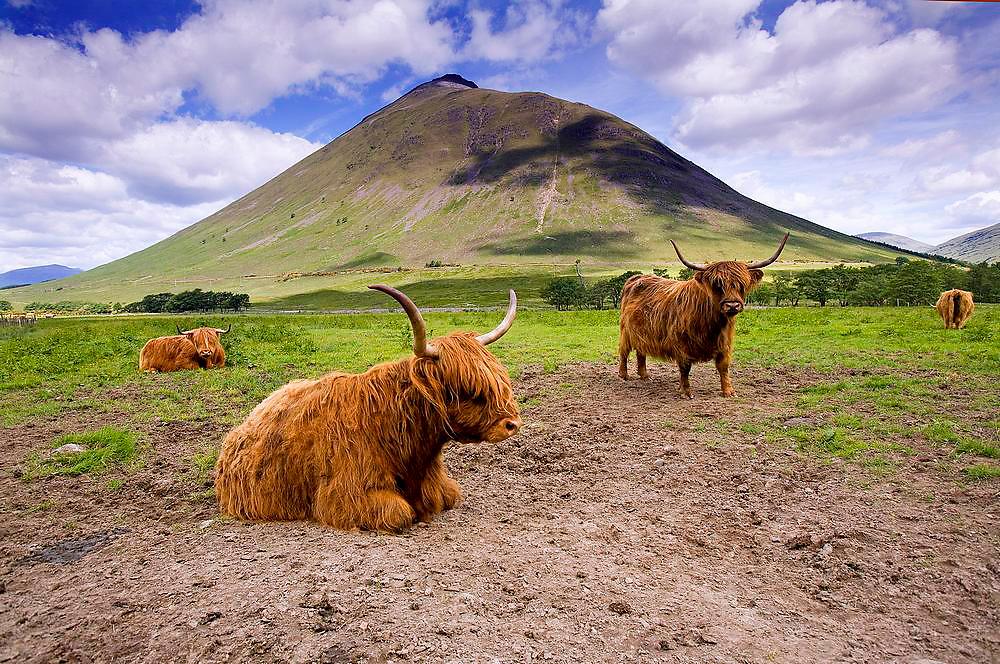 Highland cows, Auch Glen