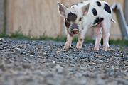 Kunekune pig, two weeks old, New Zealand