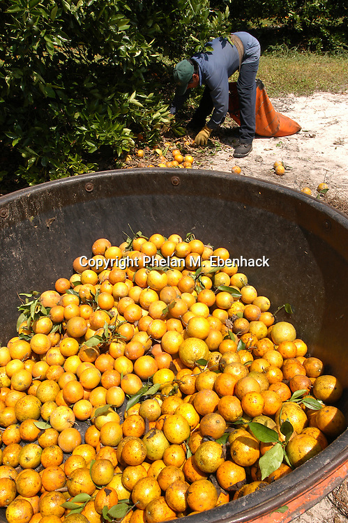 A worker picks up oranges, while a container waits to be filled at a grove in Lake Wales, Florida.