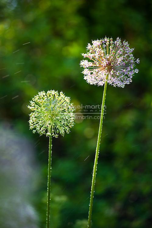 Allium aflatunense, Rock Alpine Garden