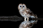 Bosuil drinkt snachts water in bospoel; Tawny owl at a forrest pool by night