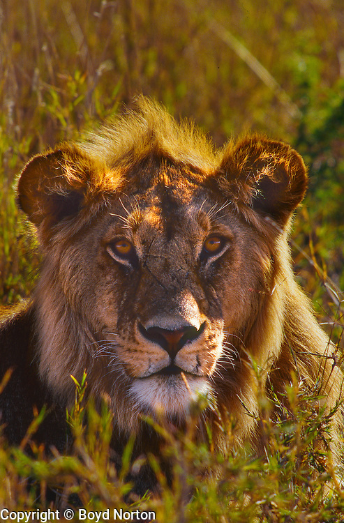 "Young male lion with ""Mohawk"" main"