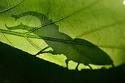 Wo der Hirschk&auml;fer (Lucanus cervus) lebt, ist der Wald noch in Ordnung: 1000 Jahre muss die Natur sich selbst &uuml;berlassen bleiben, um diesem K&auml;fer eine Heimat zu bieten. Seine Larven entwickeln sich im alten, modrigen Totholz von Eichen in den letzten &sbquo;Urw&auml;ldern&rsquo; Deutschlands. An warmen Sommerabenden kann man das Brummen der handtellergro&szlig;en K&auml;fer h&ouml;ren, wenn sie um die Eichen herum fliegen. Bis sie sich irgendwann niederlassen, um auf den Bl&auml;ttern und &Auml;sten nach einer Partnerin zu suchen &hellip;<br /> Elbtalauen, Deutschland