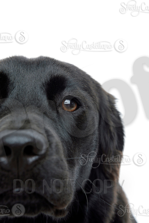 21 July 2008:  10 month old female Golden Labrador K-9 dog named Bella Bailey Castellano posing in the studio on a white background.  Black Lab, Golden Retriever puppy, a family pet.
